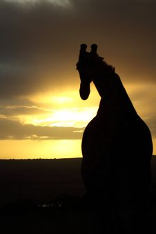 Free Giraffe: Follow The Sunset Royalty Free Stock Photography - 14094067