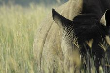 Free Rhino In The Grass Stock Images - 14094274