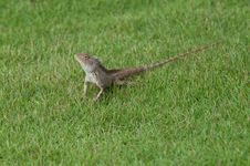 Free Garden Lizard Royalty Free Stock Image - 14094546