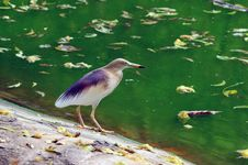 Free Indian Pond Heron Stock Photos - 14094853