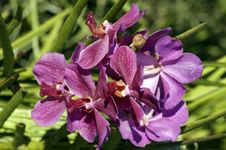 Free Wild Orchids. Borneo. Royalty Free Stock Image - 14095026