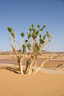 Free Tree In The Desert, Libya Royalty Free Stock Photo - 14095085