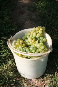 Free Vine Grapes Stock Photography - 14095352