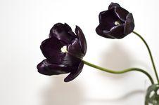 Tulips Blacks 2 Stock Image