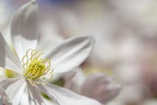 Free Clematis Armandii Flower Royalty Free Stock Image - 14095736