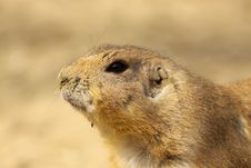 Free Portrait Of A Prairie Dog Stock Photo - 14096480