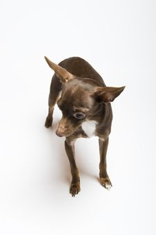 Free Funny Curious Toy Terrier Dog Stock Photo - 14097480