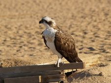 Free Eagle Royalty Free Stock Image - 14097486