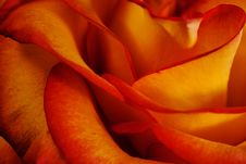 Free Orange Rose Close Up Royalty Free Stock Images - 14097579