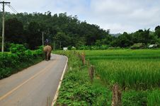 Rice Field With Elephant Stock Images