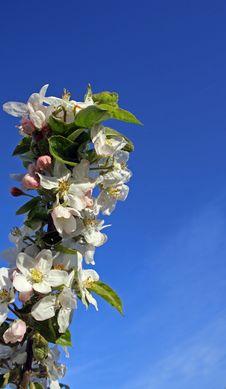 Free Blossom Royalty Free Stock Photos - 14099678