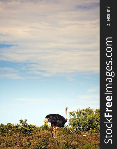 Ostrich walking in field, South Africa