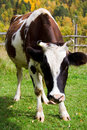 Free Curious Cow Stock Image - 1415791