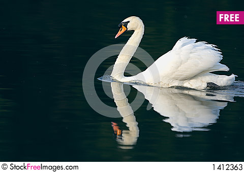 Mute Swan and Reflection Stock Photo