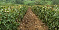 Free Vineyard Royalty Free Stock Photo - 1411505