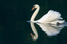 Free Mute Swan And Reflection Stock Photos - 1412363
