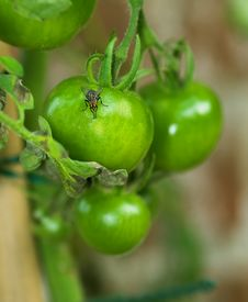 Free Tomato And A Fly Royalty Free Stock Images - 1412679