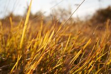 Free Yellow Grass Royalty Free Stock Images - 1413339