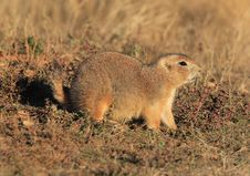 Blacktail Prairie Dog Stock Photos