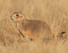 Blacktail Prairie Dog Stock Photo