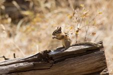 Free Chipmunk On Log Stock Image - 1414251