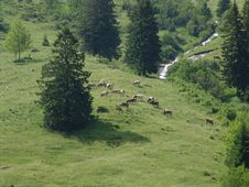 Free Swiss Cows In Grindelwald Wilderness Royalty Free Stock Image - 1418286