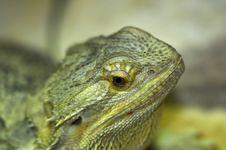 Free Lizard Royalty Free Stock Photos - 1418928