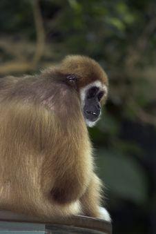 Free White-handed Gibbon Stock Photos - 1418933