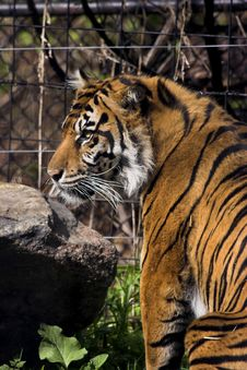 Free Caged Tiger Royalty Free Stock Photo - 1418935
