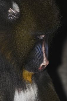 Mandrill- Young Alpha Male Stock Photos