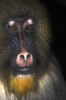 Mandrill- Young Alpha Male Royalty Free Stock Photos
