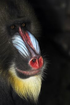 Free Mandrill Alpha Male Royalty Free Stock Images - 1419009