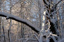 Snow On Tress In Early Morning Royalty Free Stock Photo