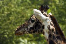 Free Giraffe S Head Stock Photo - 1419040