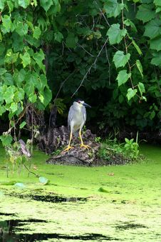 Free Night Crown  Heron Stock Photos - 1419063