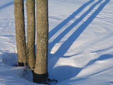 Three Trees And Shadows Royalty Free Stock Image