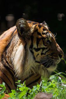 Free Sumatran Tiger Royalty Free Stock Image - 1419146