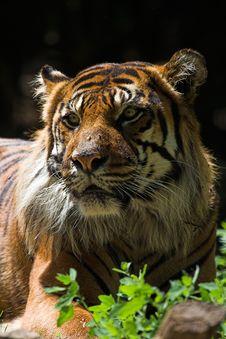Free Sumatran Tiger Royalty Free Stock Image - 1419156