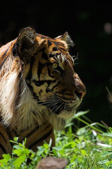 Free Sumatran Tiger Royalty Free Stock Photos - 1419158