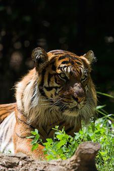 Free Sumatran Tiger Royalty Free Stock Photo - 1419165