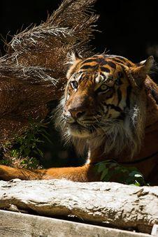Free Sumatran Tiger Royalty Free Stock Image - 1419176