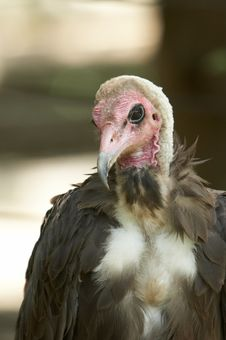 Vulture Close Up Stock Photos