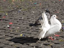 Free White Pigeon Royalty Free Stock Photo - 1419915
