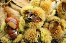 Free Chestnuts Ready To Be Collected Royalty Free Stock Photography - 1419997