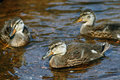 Free Swimming Ducklings. Royalty Free Stock Images - 14101259
