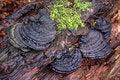 Free Bracket Fungi And Moss Royalty Free Stock Photo - 14101505