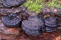 Free Bracket Fungi Royalty Free Stock Photos - 14104718