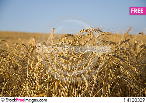 Free Wheat Field Royalty Free Stock Images - 14100309