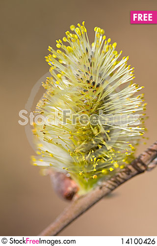 Free Blossoming Pussy-willow Royalty Free Stock Image - 14100426