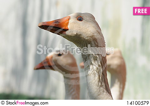 Free Geese Royalty Free Stock Images - 14100579